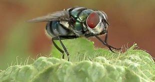مگس ها بیش از حد تصور حامل میکروب هستند