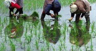ممنوعیت کشت برنج در استان کرمانشاه به علت کمآبی