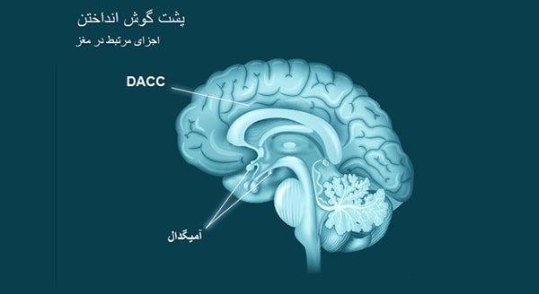 آیا می دانید که اندازه عضوی بادامشکل در لوب گیجگاهی مغز در افرادی که اهل پشت گوش انداختن هستند، بزرگتر است؟