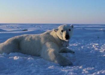 اعلام وضعیت اضطراری در روسیه به دلیل هجوم خرسهای قطبی