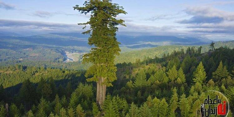 بلندترین درخت دنیا شناسایی شد