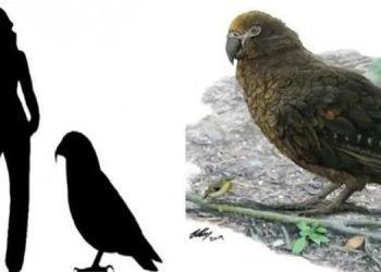 کشف فسیل طوطی عظیم الجثه در نیوزیلند