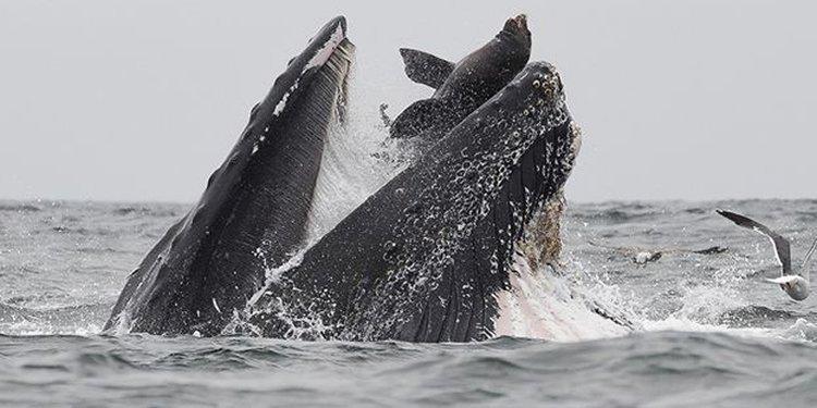 تصویری ماندنی از نهنگی که یک شیر دریایی را می بلعد
